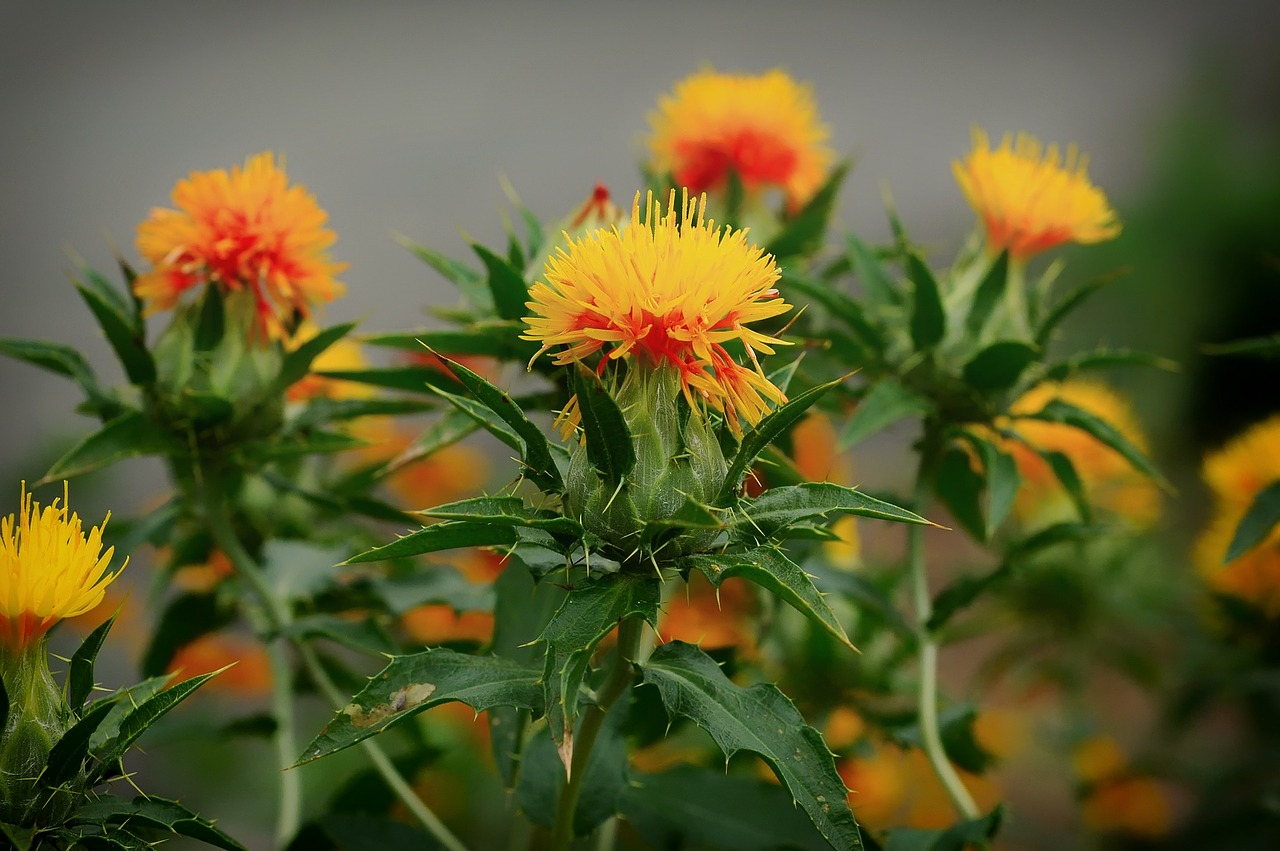 ベニバナ 紅藍花